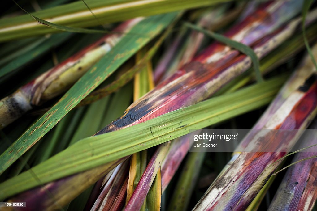 Harvested colorful sugar cane leafs and stalks seen on a plantation on 25 May 2012 in Valle del Cauca, Colombia. Panela, a solid block of raw, unrefined sugar, is made by cooking and evaporation of the sugar cane juice into a golden, sticky syrup which is then poured into the wooden molds and allowed to solidify. Having the taste like a cross between molasses and brown sugar, panela is served as a hot or cold infusion called aguapanela. Due to the large amounts of proteins, vitamins and minerals and thus, panela is believed to have healing powers. Cheaper than sugar, it is consumed by the majority of Colombians and it is a major source of calories for children from families with low socioeconomic status. With more than 70,000 farms that cultivate sugarcane for mills, panela production is an important economic activity in the Colombian countryside, employing around 350,000 people and being the second largest source of jobs after agricultural coffee production.