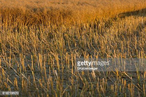 Harvested field : Bildbanksbilder