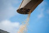 Harvested grain