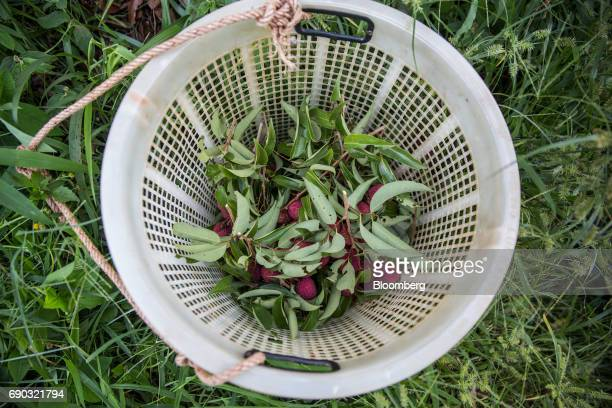 Harvested lychees sit in a basket at an orchard in the Chai Prakan district of Chiang Mai province Thailand on Saturday May 27 2017 Thailand's...