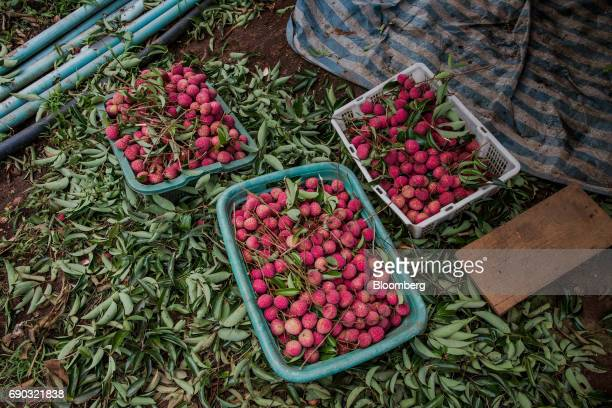 Harvested lychees sit in crates at an orchard in the Chai Prakan district of Chiang Mai province Thailand on Saturday May 27 2017 Thailand's economic...