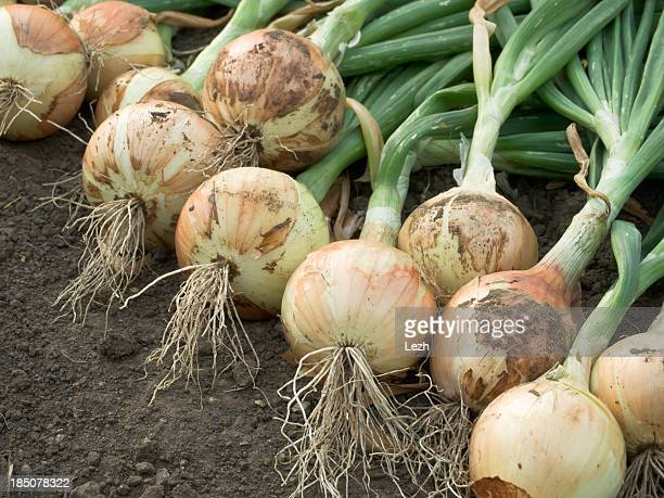 Harvested onions lay in dirt
