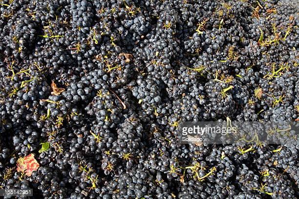 収穫 Pinot ブドウ