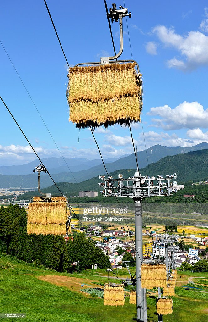 Harvested rice are dried on the unused ski lifts on September 24, 2013 in Minamiuonuma, Niigata, Japan. The rice, cropped from rice paddy of the Osawa area and categorized as top quality, will be on sale as top brand 'Tenkumai' rice, which is 10,000 yen (100 U.S. Dollars) for a 5-kilogram bag.