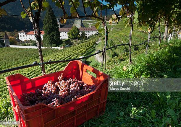 Harvested Riesling grapes are gathered in the Abbey vineyards at the Abbazia di Novacella on October 13 2010 in Varna Italy Abbazia di Novacella in...