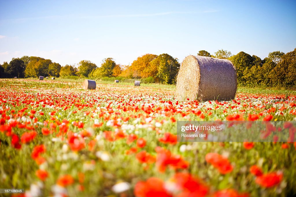 Harvested Straw Bales in Poppy Field in the Autumn