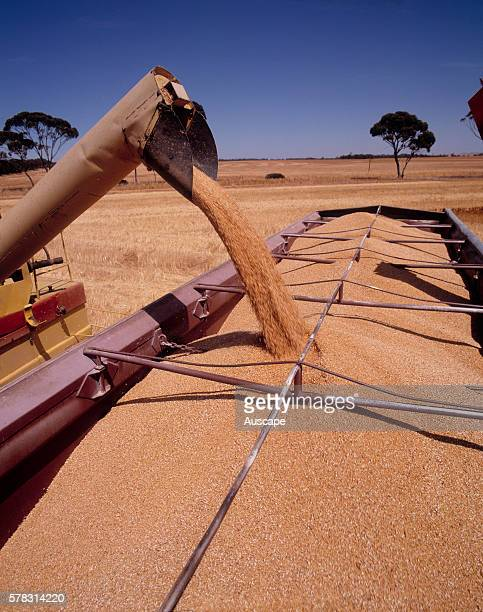 Harvested wheat being loaded into a truck Merredin Central Wheat belt Western Australia Australia