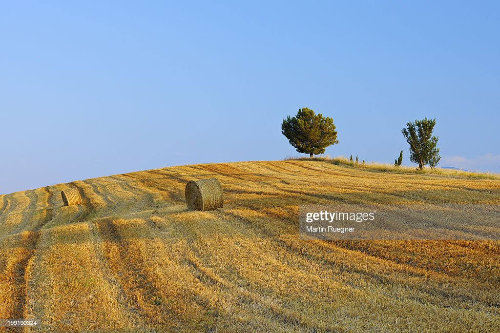 Harvested wheat field with pine tree, summer. : Stock Photo