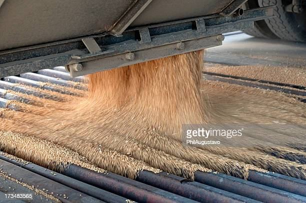 Harvested wheat kernels pouring into auger grate at grain elevator
