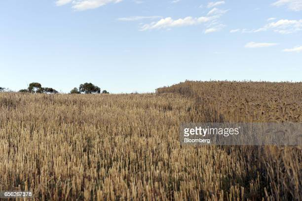Harvested wheat left stands next to a section of unharvested crop at a farm near Drysdale Australia on Wednesday Feb 15 2017 Wheat shipments from...