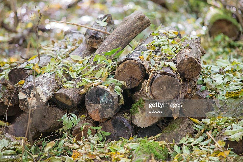 Colhidas madeira em floresta : Foto de stock