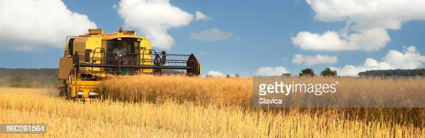 Harvester combine harvesting oilseed rape at the end of summer