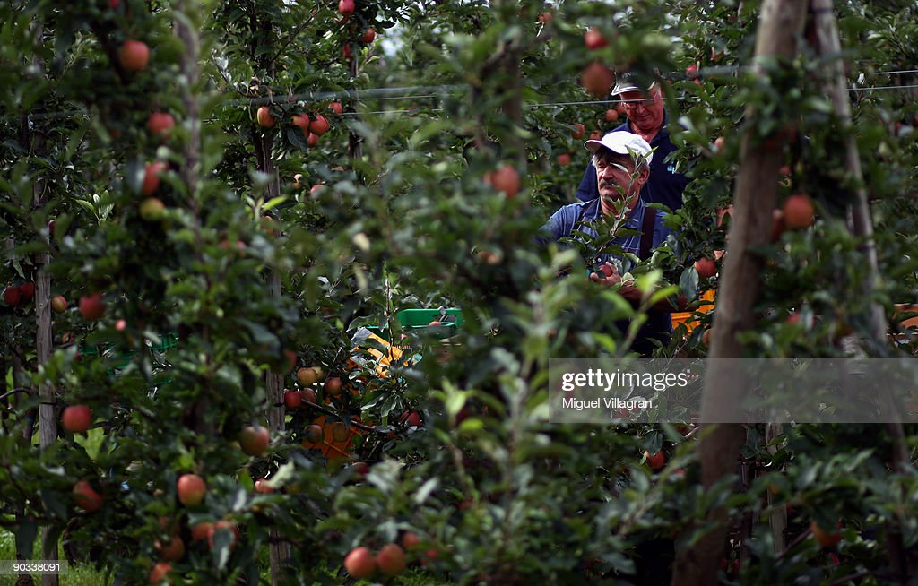 A harvester picks apples by hand during the apple harvest next to the lake Constance on September 4, 2009 in Lindau, Germany. The lake is situated in Germany, Switzerland and Austria near the Alps. More then 1500 farmers grow apples in the lake Constance area.