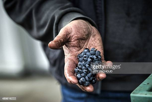 A harvester selects grapes during the harvest in the Domaine Rouget on September 16 2015 in Gilly les Citeaux Emmanuel Rouget owner of Domaine Rouget...