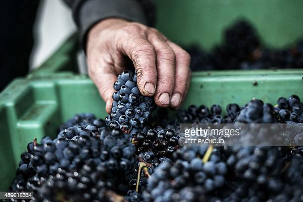 BOYET A harvester selects grapes during the harvest in the Domaine Rouget on September 16 2015 in Gilly les Citeaux Emmanuel Rouget owner of Domaine...