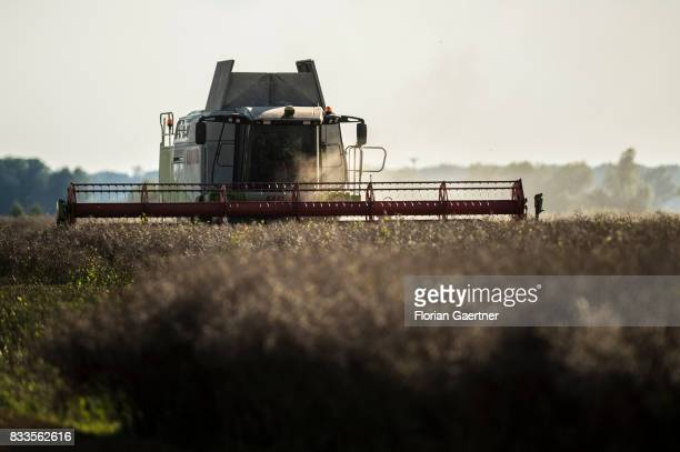 A harvester threshes a corn field on August 14 2017 in Osterburg Germany