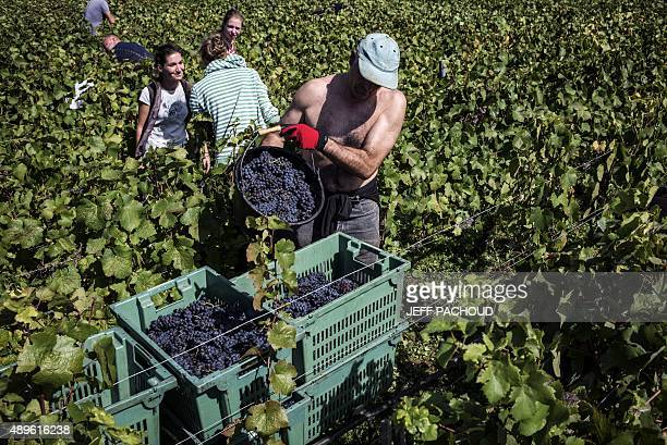 Harvesters carry grapes during the harvest in the Domaine Rouget on September 16 2015 in Gilly les Citeaux Emmanuel Rouget owner of Domaine Rouget...