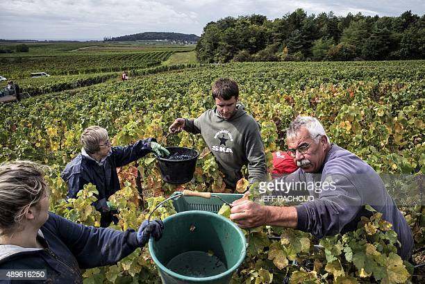 Harvesters pick grapes during the harvest in the Domaine Rouget on September 16 2015 in Gilly les Citeaux Emmanuel Rouget owner of Domaine Rouget and...