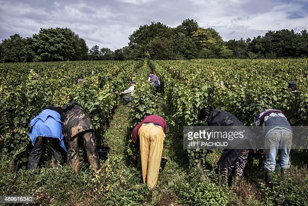 BOYET Harvesters pick grapes during the harvest in the Domaine Rouget on September 16 2015 in Gilly les Citeaux Emmanuel Rouget owner of Domaine...