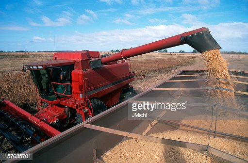 Harvesting a Field of Soybeans With a Combine Harvester.