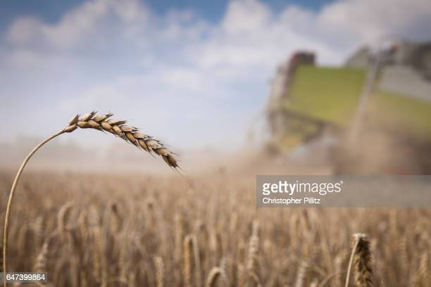 Harvesting a Wheat field.