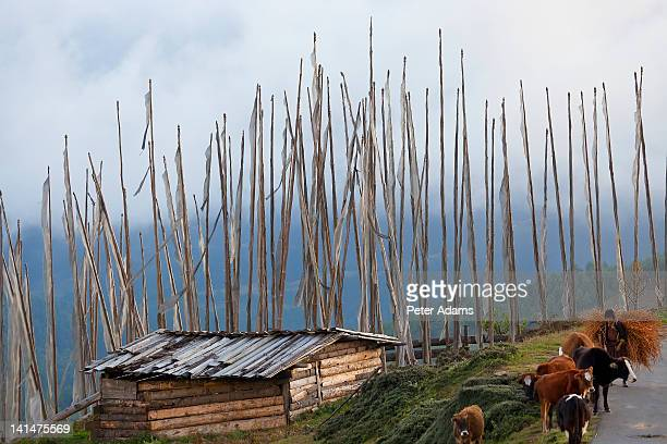 Harvesting buckwheat, cows Bumthang Valley, Bhutan