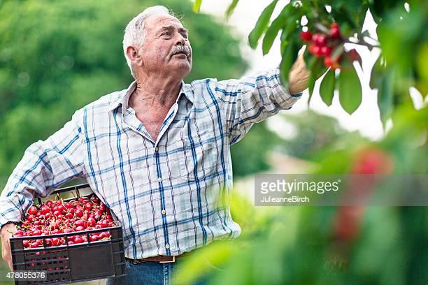 Colheita de cerejas