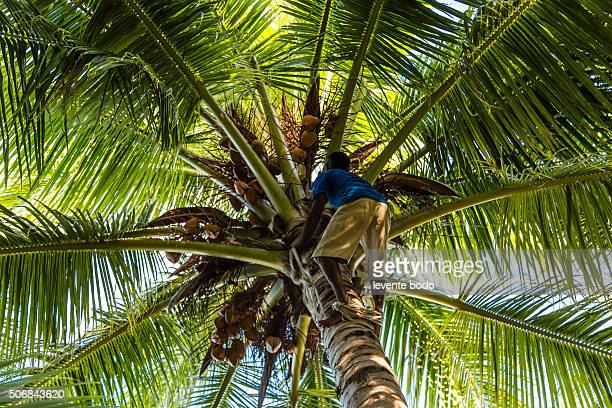 Harvesting coconuts in Maldives