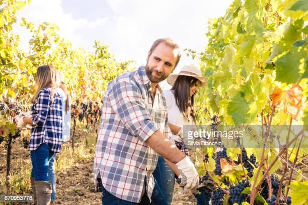 Harvesting grape in the vineyard