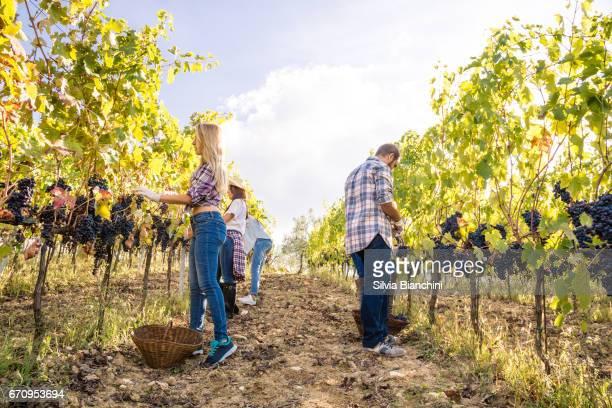 Harvesting grape in vineyard in Tuscany