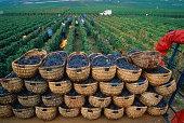 Harvesting grapes in vineyards, Cote d'Or, Burgundy, France