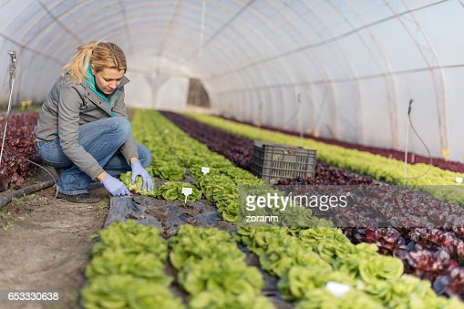 Harvesting lettuce : Stock Photo