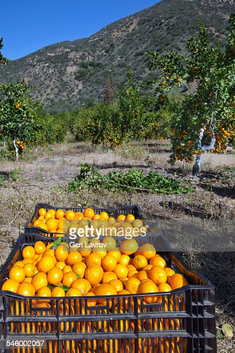 Harvesting mandarins on a farm