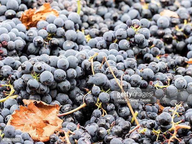 Harvesting of black grapes, full frame