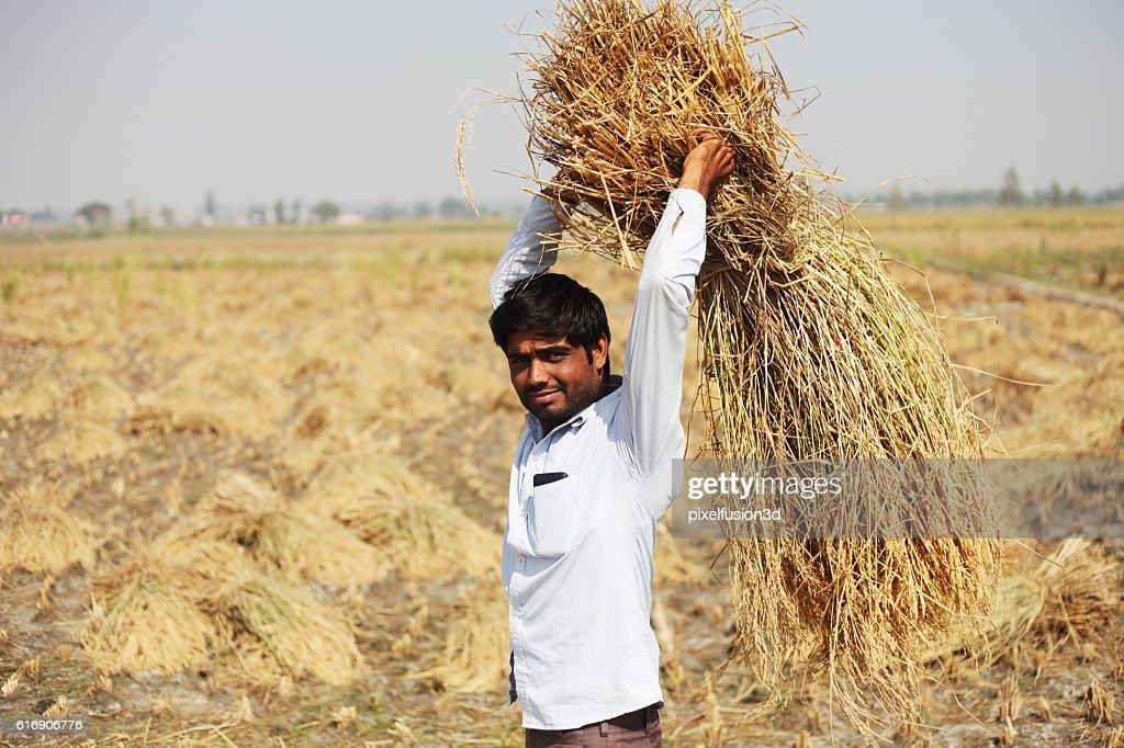 Harvesting Rice Crop : Stock Photo