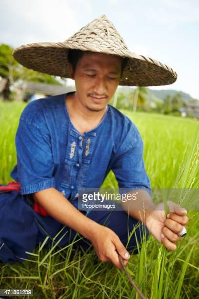 Ernten Reis in Thailand