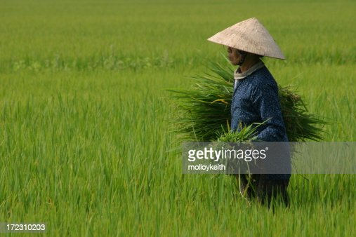 Harvesting Rice, Vietnam