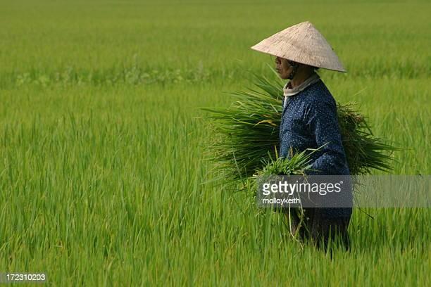 Ernten Reis, Vietnam