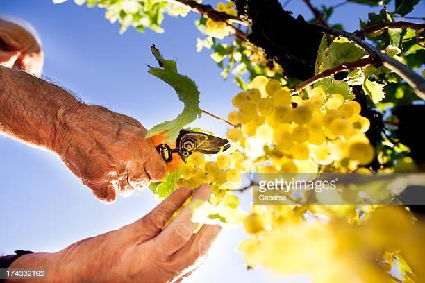 Uva la raccolta