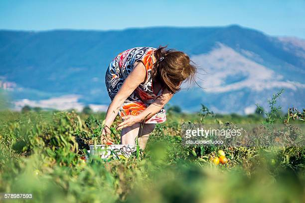 Harvesting tomatoes, in Puglia, Italy