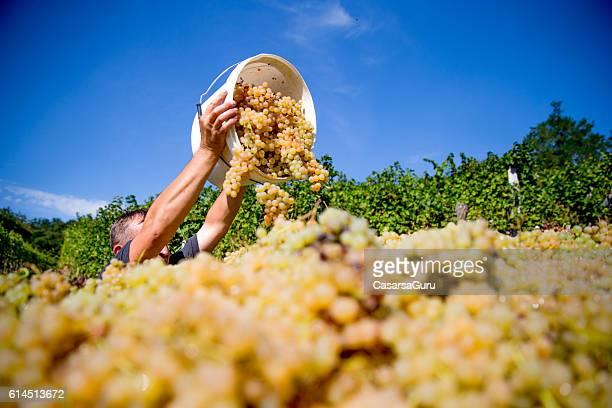 Harvesting White Grapes