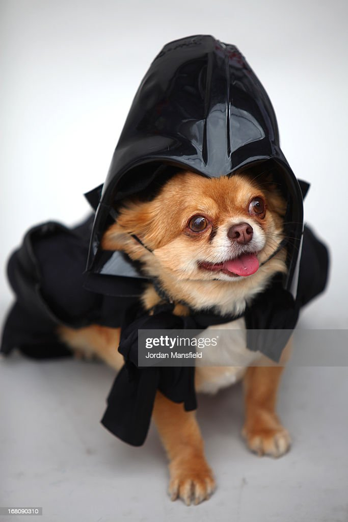 Harvey, a long-haired Chihuahua is dressed up as the character Darth Vader from the film Star Wars on May 5, 2013 in London, England. Enthusiasts gathered at the Picture House in Stratford to parade their dogs dressed up as famous Sci-Fi characters as part a London-wide event called Sci-Fi London.