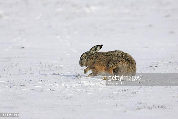 Hase Europaeischer Feldhase graebt mit den Vorderpfoten im Schnee nach Nahrung