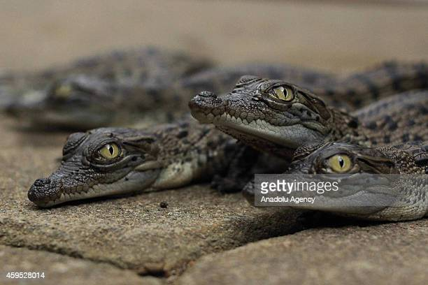 Hatched baby Crocodile Saltwater or Crocodile Bekatak at the Mangkang Zoo in Semarang Central Java Indonesia November 24 2014 Of the 63 eggs hatched...