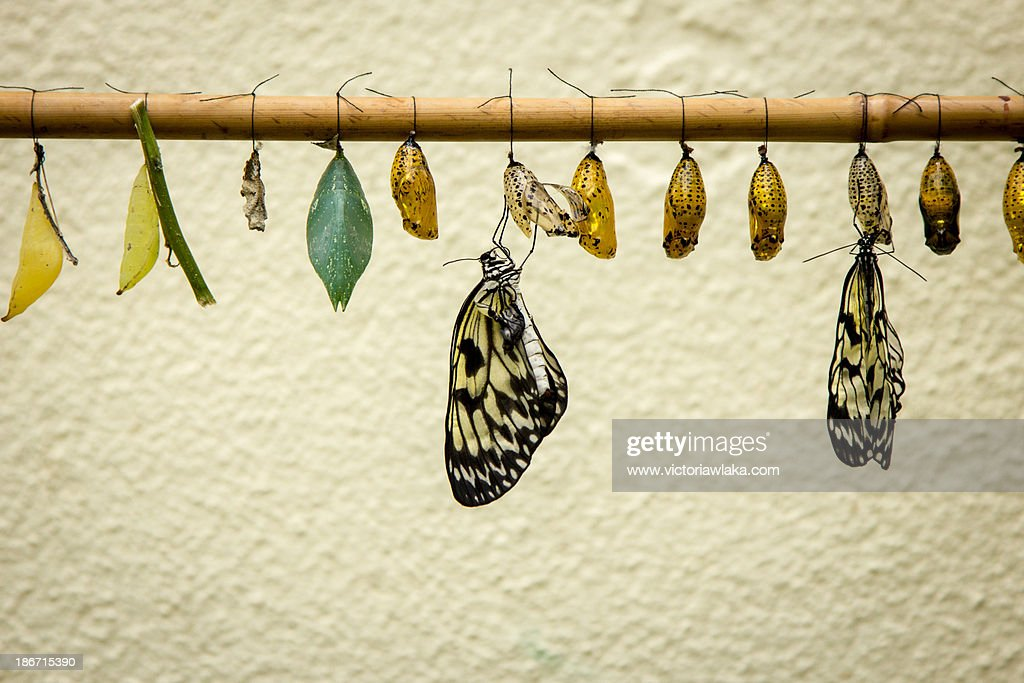 Hatching Butterflys : Foto de stock