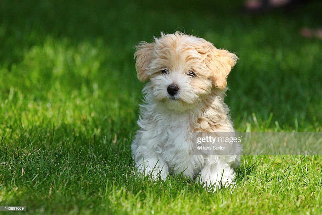 Havanese puppy : Stock Photo