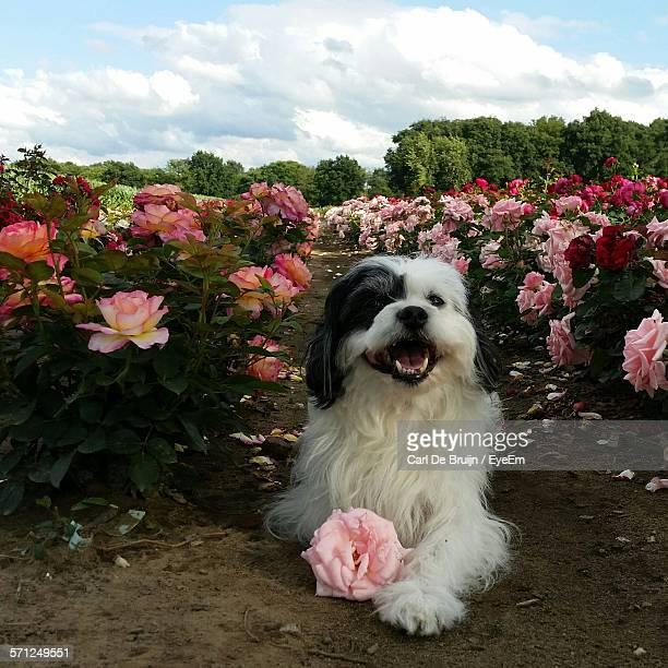 Havanese Sitting On Pathway Amidst Rose Plants Against Cloudy Sky