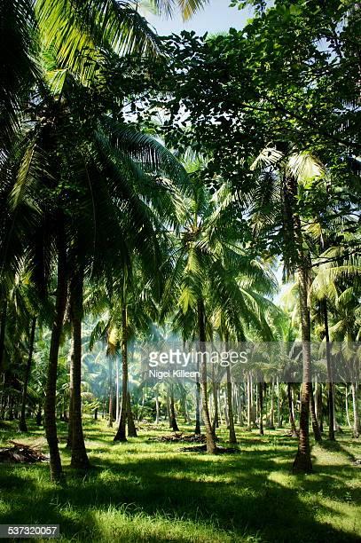 Havelock Island Palm Trees