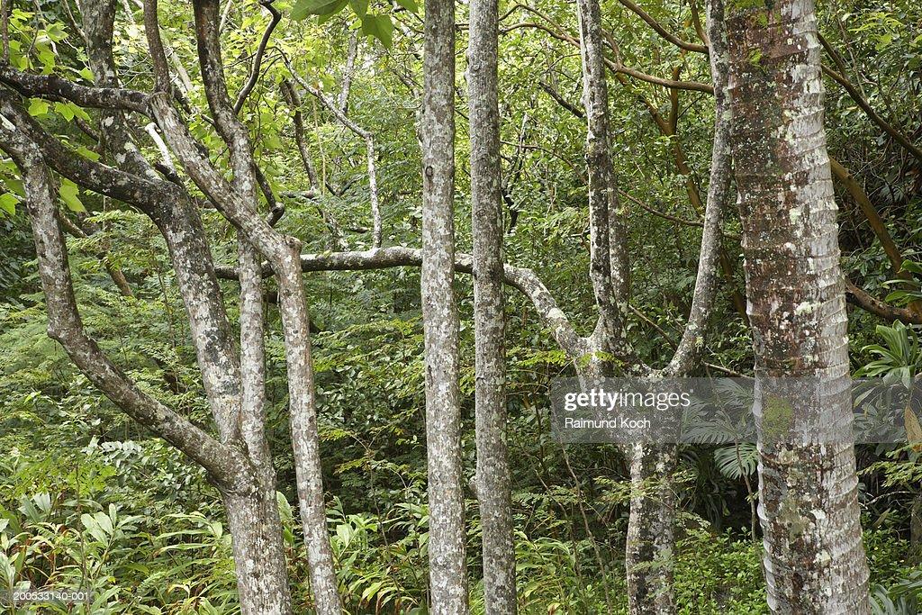 USA, Hawaii, Maui, tropical rainforest near Iao Needle : Stock Photo