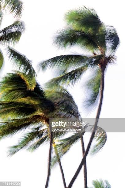USA Hawaii O'ahu, Waikiki Beach, Coconut Palms.